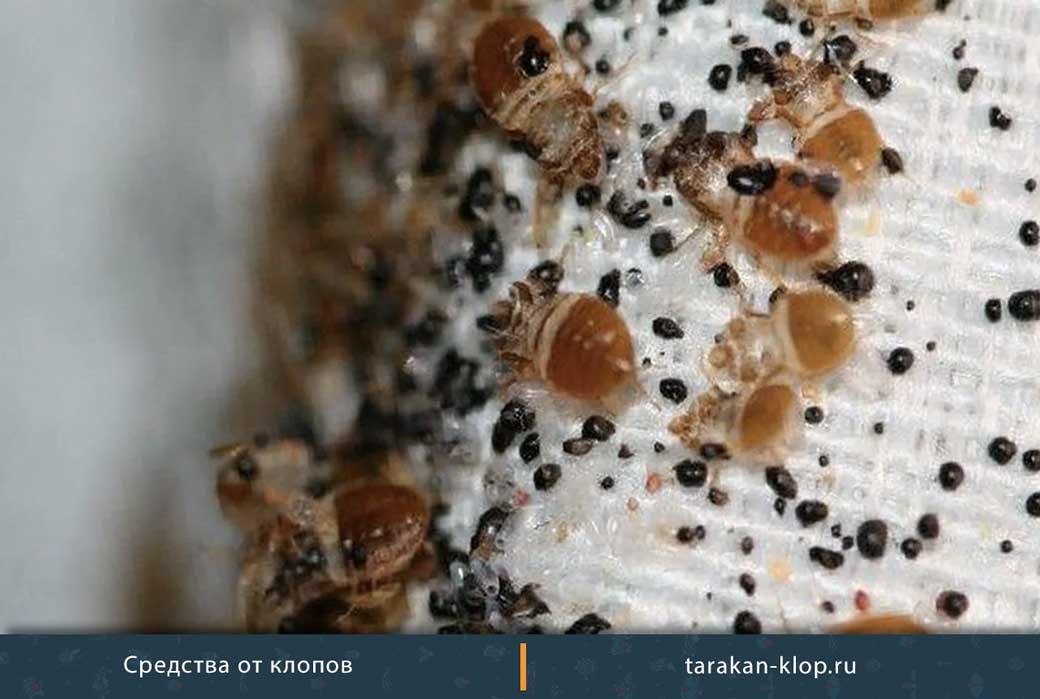 Как выглядят яйца и личинки постельных клопов (фото)