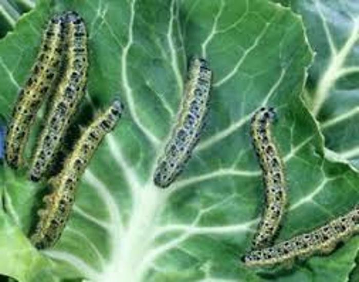 Чем обработать капусту от гусениц: эффективные народные средства