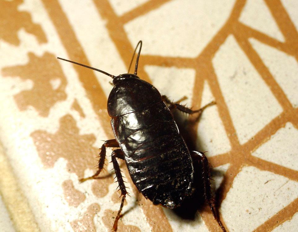 Черные тараканы в квартире: откуда появляются и как избавиться, фото