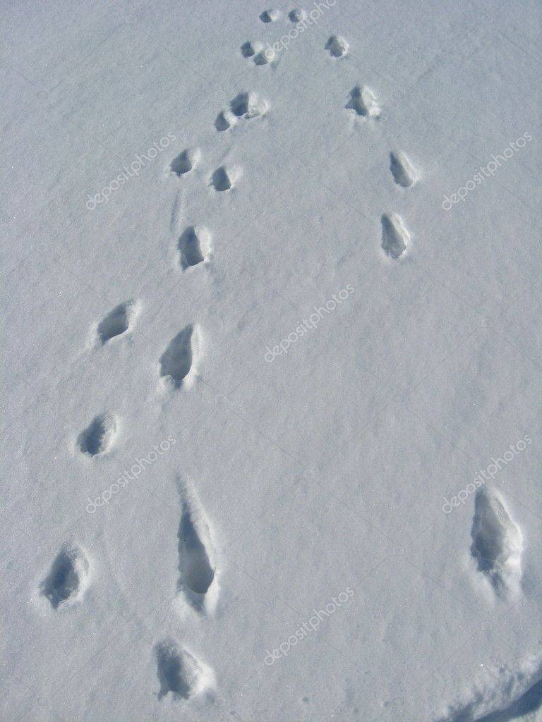 Ошмарин п.г. пикунов д.г. следы в природе. следы ног животных на почве и на снегу. практическая классификация следов ног зверей и птиц - электронная биологическая библиотека
