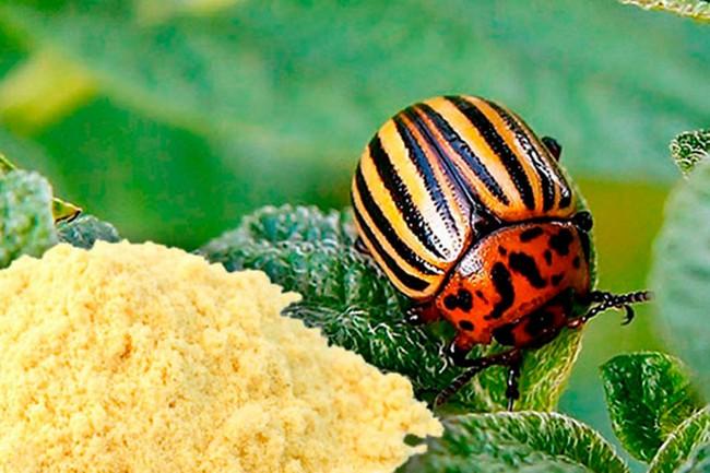 Два дешевых и эффективных средства против колорадского жука