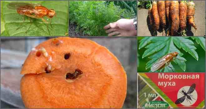 Морковная муха – как с ней бороться (препараты, народные средства)