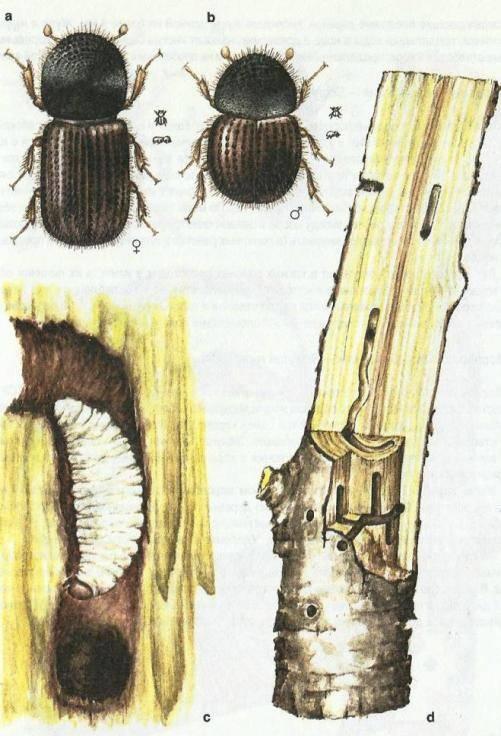 Короед в саду: чем опасен, наносимый вред, где селится, как обнаружить, методы борьбы, профилактика появления, советы специалистов