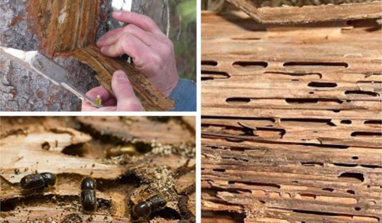Яблоневый короед и методы борьбы с ним: как избавиться от жуков и личинок на яблоне