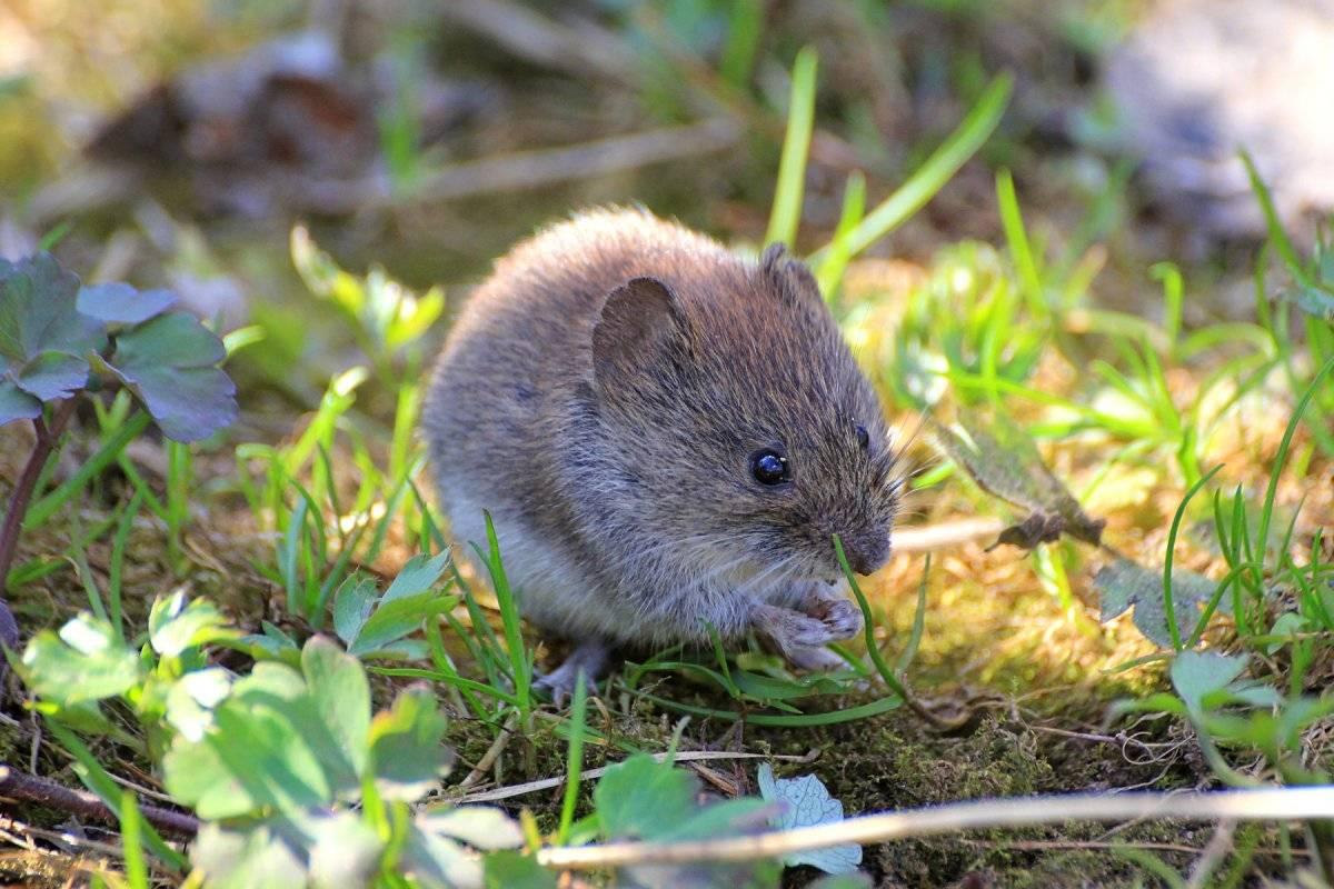 Полевая мышь — википедия