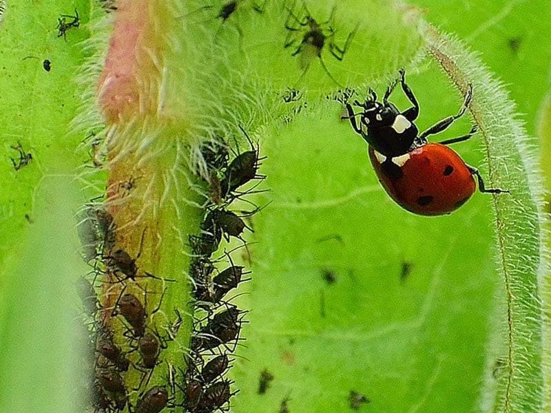 Кто ест тлю из насекомых и является самым опасным врагом против паразита, а также как ещё можно уничтожить вредителя?дача эксперт