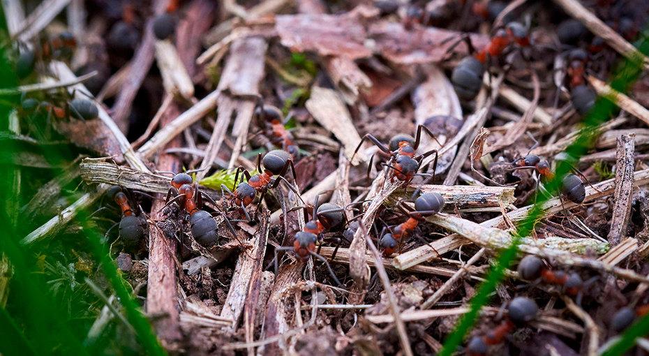 Как избавить пионы от муравьев на бутонах: что делать, чем обработать