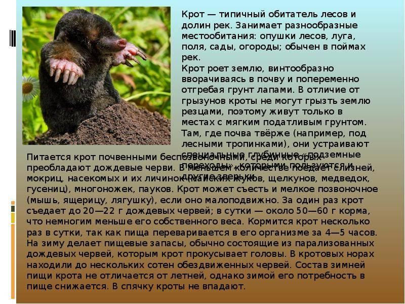 Продолжительность жизни крота: фото животного, органы чувств, описание и среда обитания русский фермер