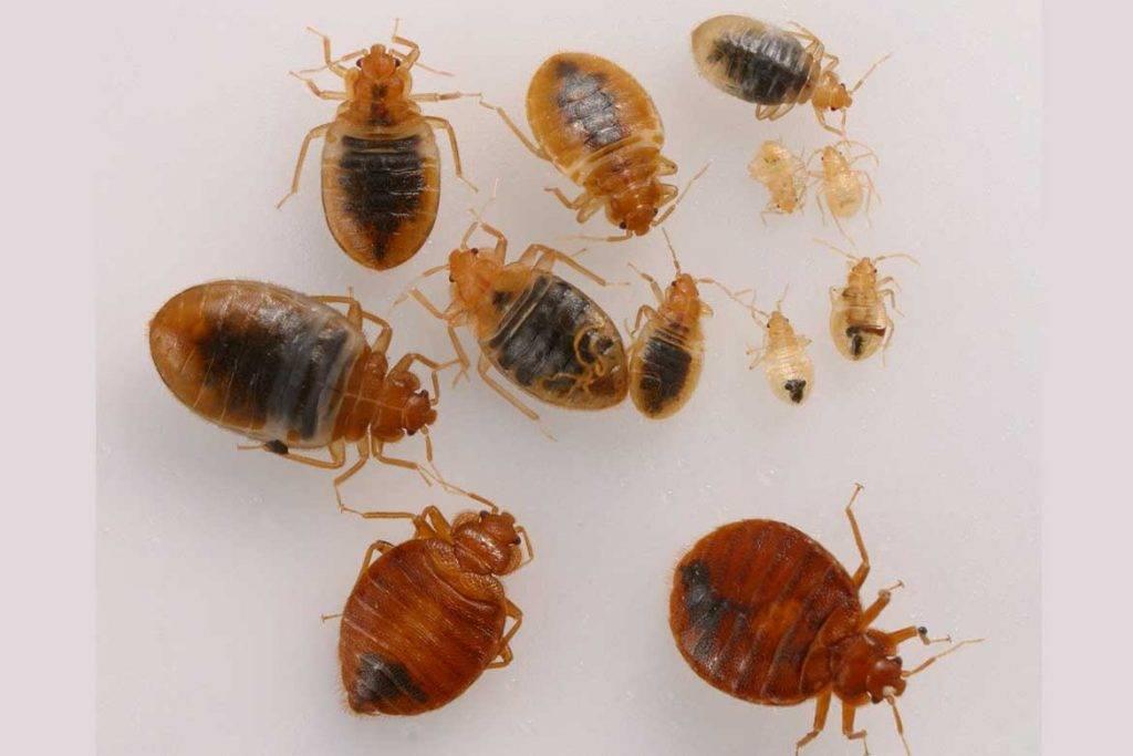 Как выглядят личинки постельных клопов: фото, как избавиться от личинок