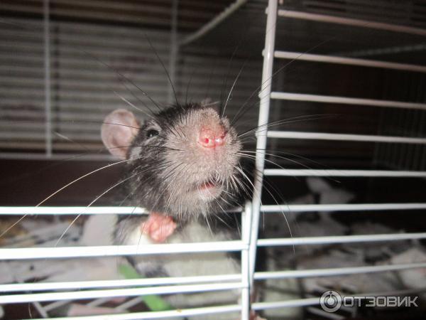 Сколько живут крысы в домашних условиях и как продлить жизнь грызуна