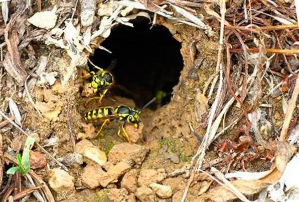 Как избавиться от осиного гнезда без вреда для собственного здоровья