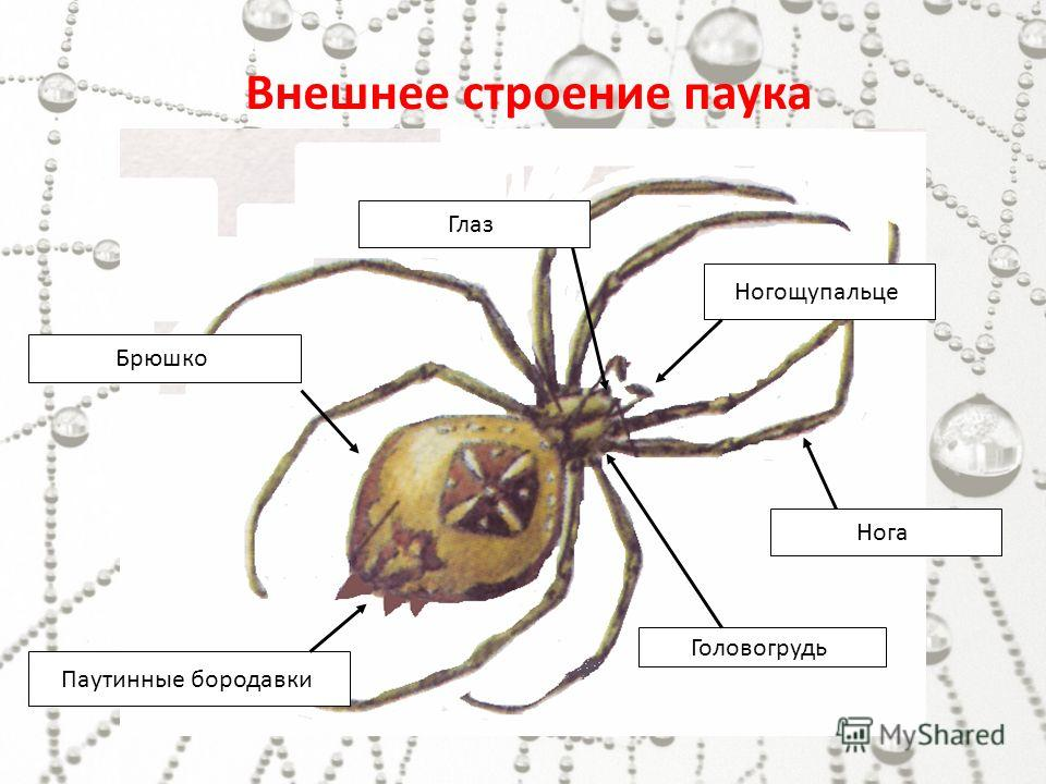 """Конспект """"класс паукообразные"""" - учительpro"""