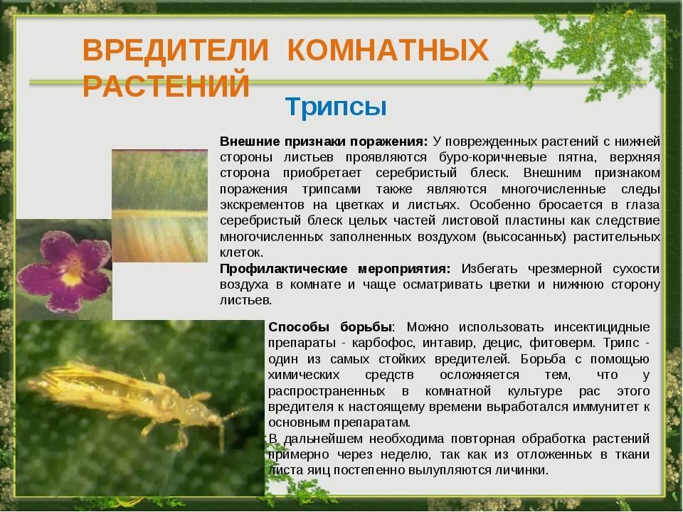 Трипсы на комнатных растениях: как бороться, описание вредителя