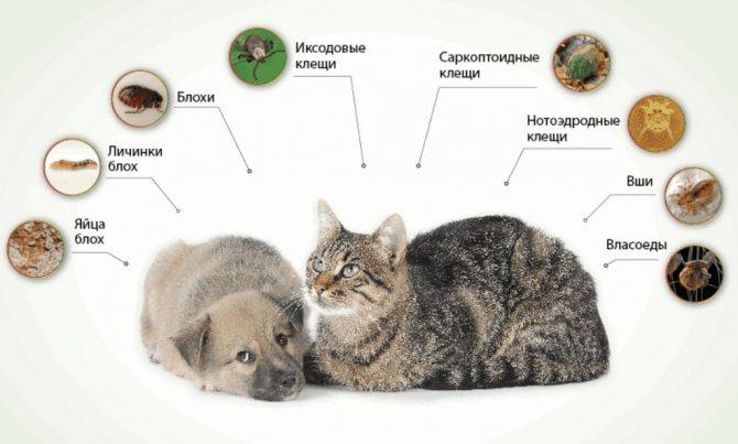 Вши у собак: виды, пути передачи, лечение, препараты и народные методы, опасность паразитов, способы профилактики
