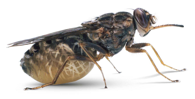 Описание и фото укусов мух, почему они кусаются. симптомы и лечение укусов мух
