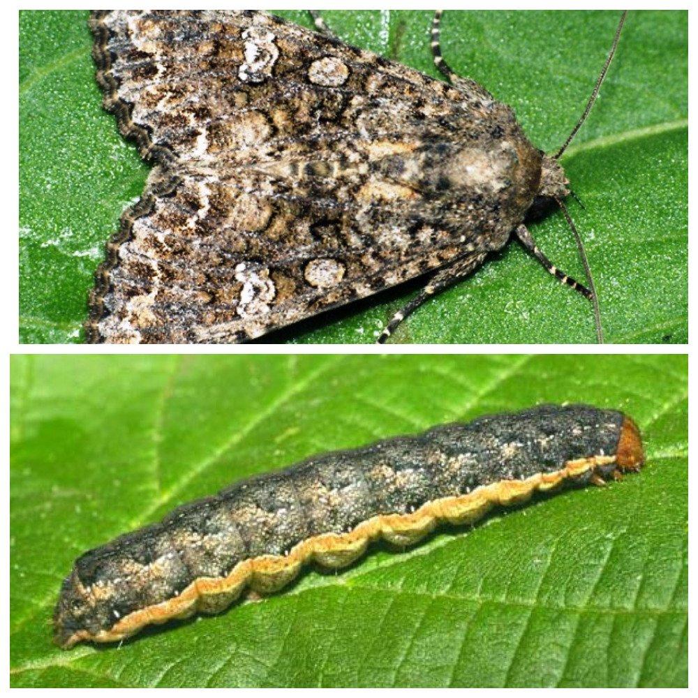 Гусеница совка: фото вредителя, как с ней бороться на садовом участке на плодовых деревьях