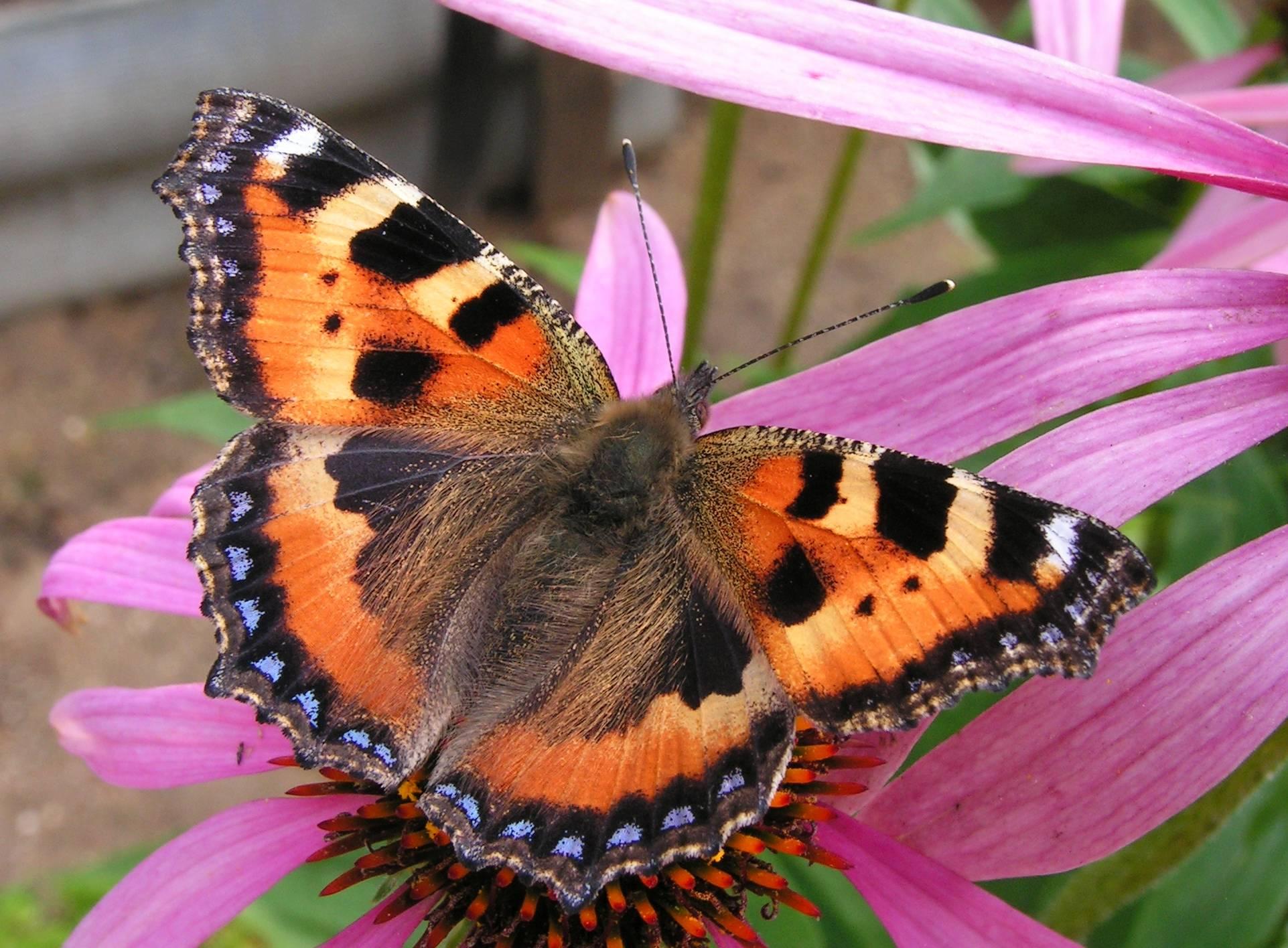 Бабочка адмирал — описание, вешний вид, характеристика вида