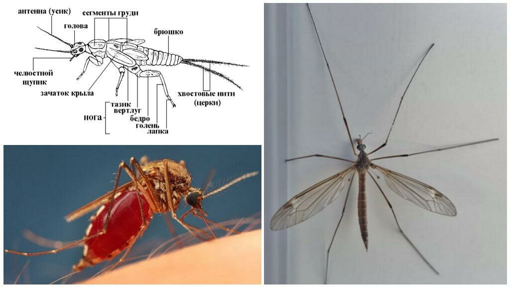 Комар – особенности существования и строения тела