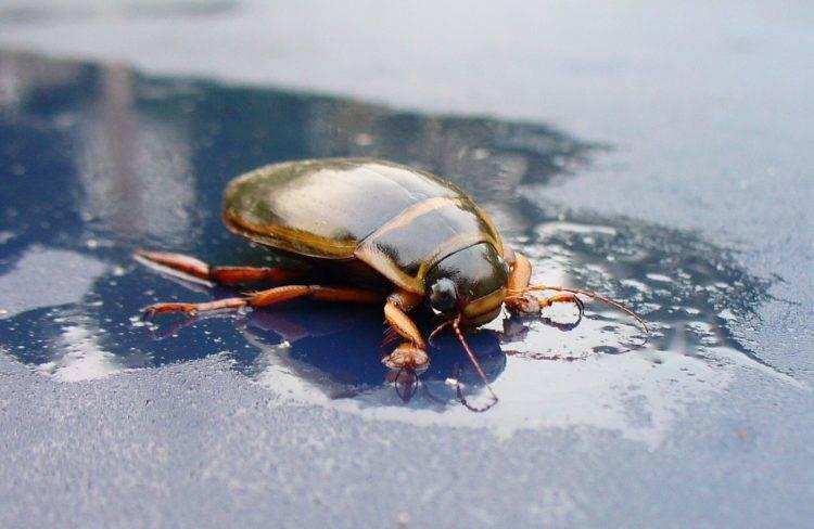 Содержание жука плавунца в домашних условиях: сколько хищник проживет в неволе
