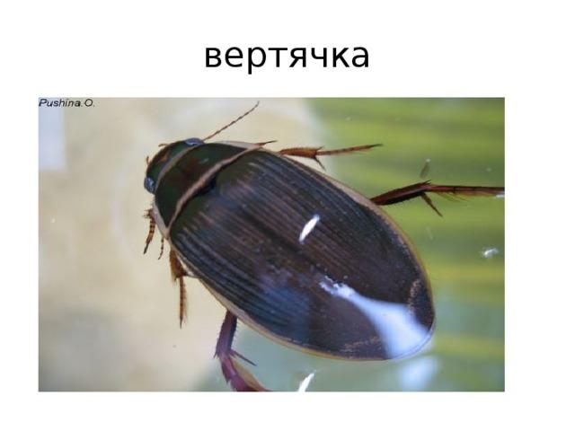 Жук навозник насекомое. описание, особенности, виды, образ жизни и среда обитания навозника   живность.ру