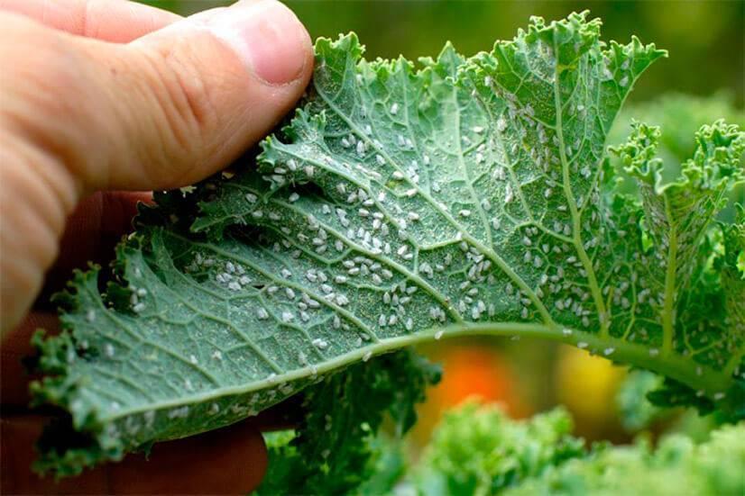 Как уберечь капусту от вредителей: эффективные меры борьбы, видео и фото