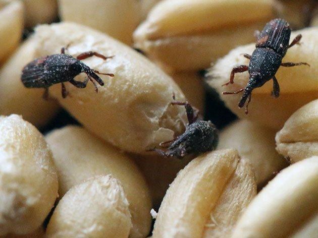 Борьба с вредителями зерна пшеницы в зернохранилищах — пропозиция