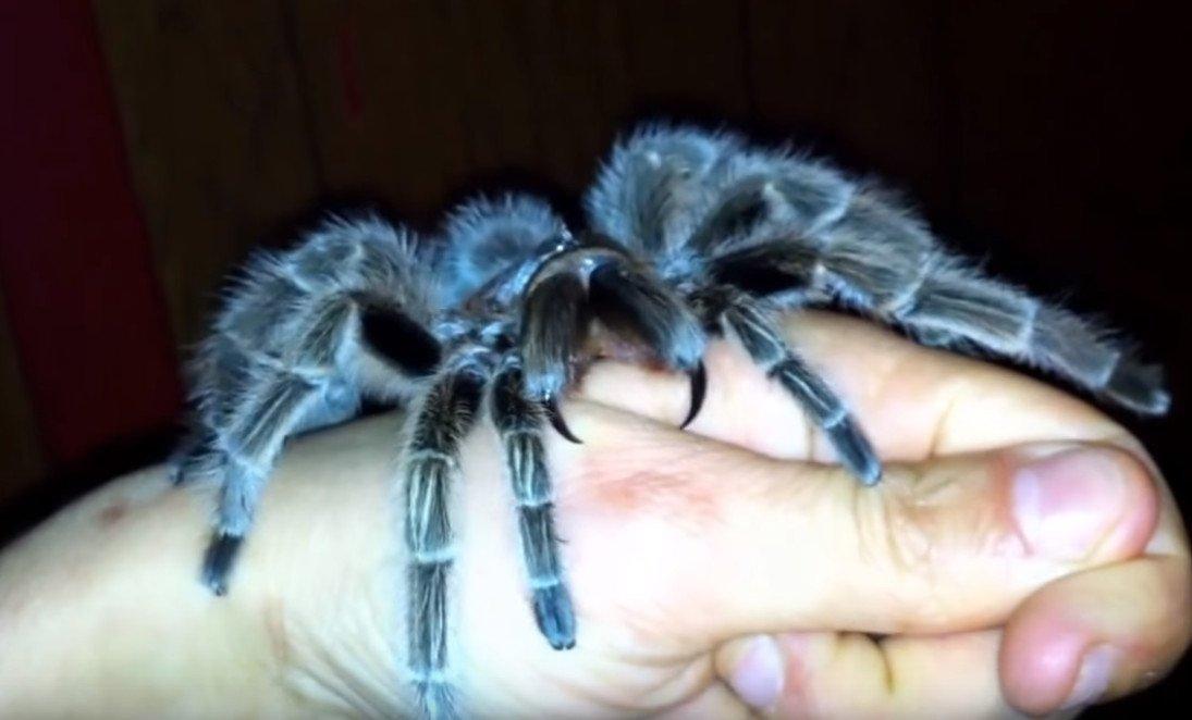 Что делать, если укусил тарантул?