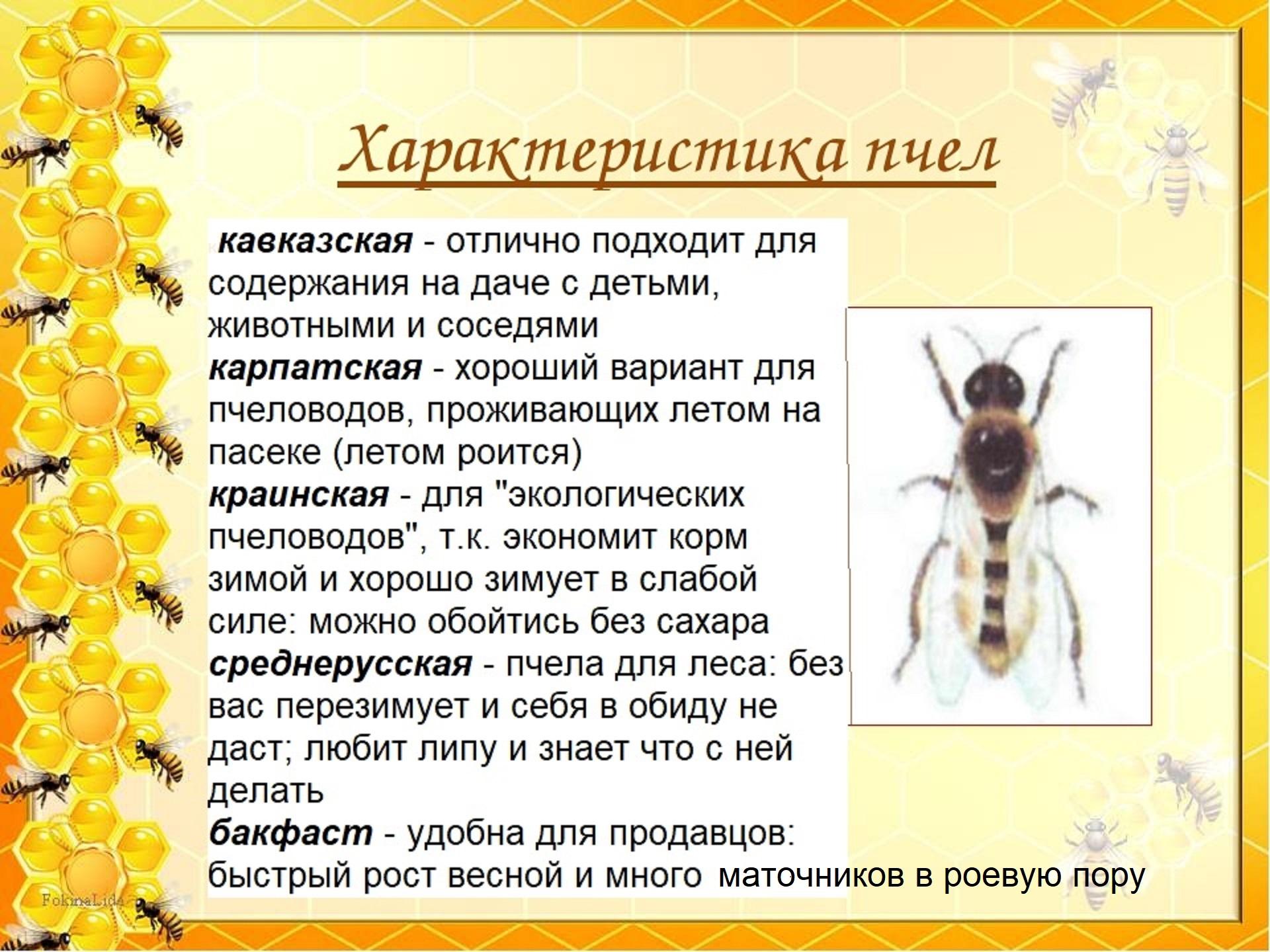 Порода пчёл Карпатка