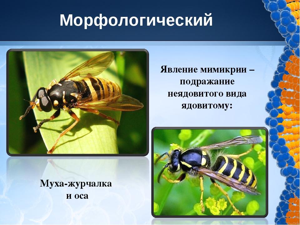 Черты приспособления к среде обитания мухи журчалки