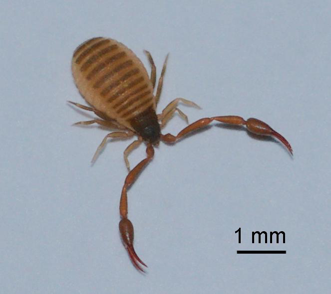 Книжный ложноскорпион в квартире – опасное или безобидное насекомое?