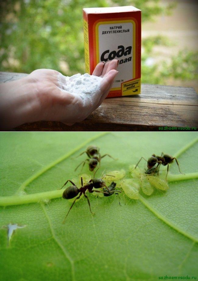 Сода как лучший способ избавления от муравьев на огороде и в квартире