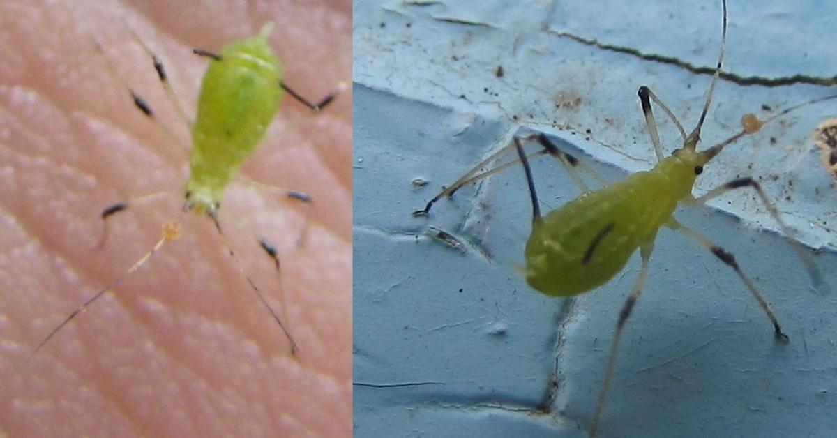 Тля на комнатных растениях: как избавиться, методы борьбы, народные средства