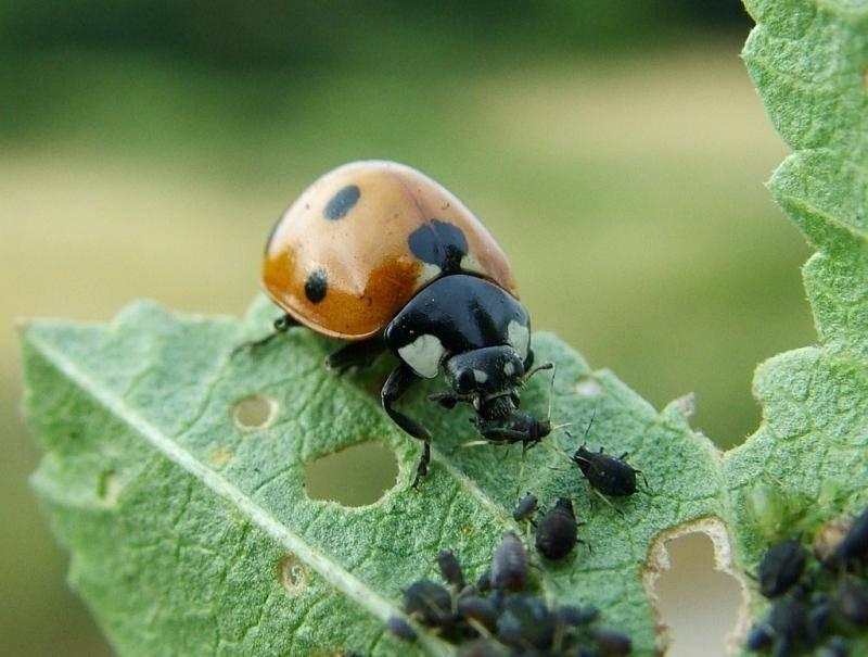 Враги тли. насекомые и их личики поедающие тлю