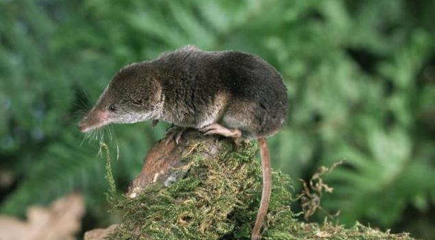 Землеройка – мышь или крот? фото как выглядит, сколько живут и другие особенности самого маленького млекопитающего русский фермер