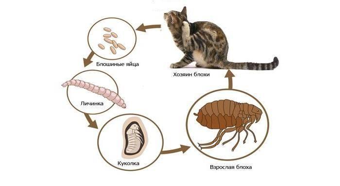 Как размножаются блохи: описание самого процесса размножения блох, какие этапы развития могут быть в зависимости от мест обитания, скорость распространения