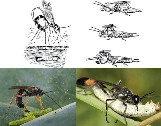 Лесная оса: фото и систематика насекомых