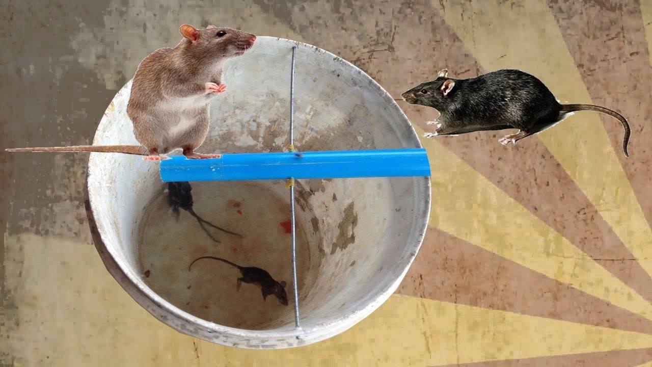 Как избавиться от крыс в частном доме, курятнике, квартире и других помещениях - применение различных методов, чтобы вывести грызунов