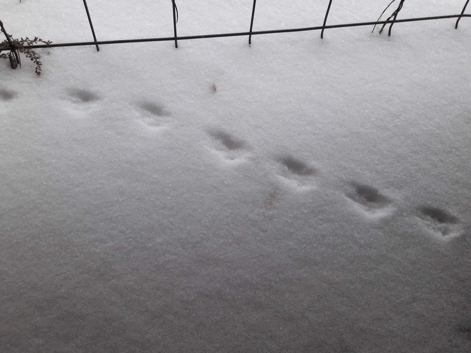 Следы крысы на снегу – как определить начало захвата территории грызунами