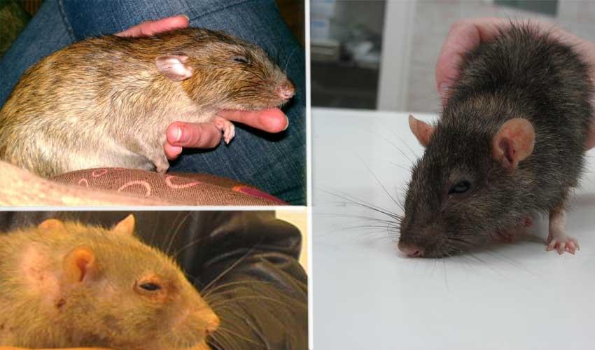 Какие заболевания переносят крысы