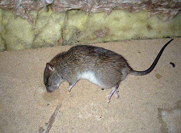 Как избавиться от крыс в квартире: эффективные способы