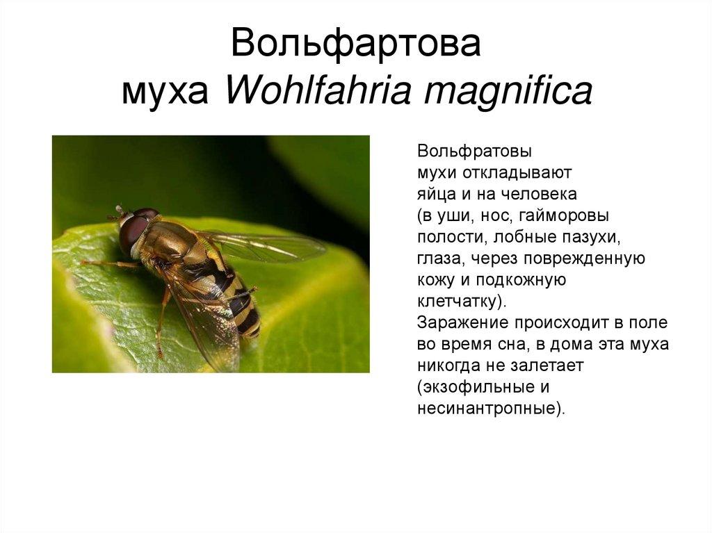 Муха жигалка - фото и описание