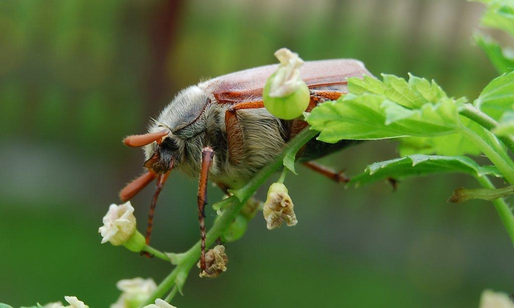 Чем отличается майский жук от июньского? | в чем разница