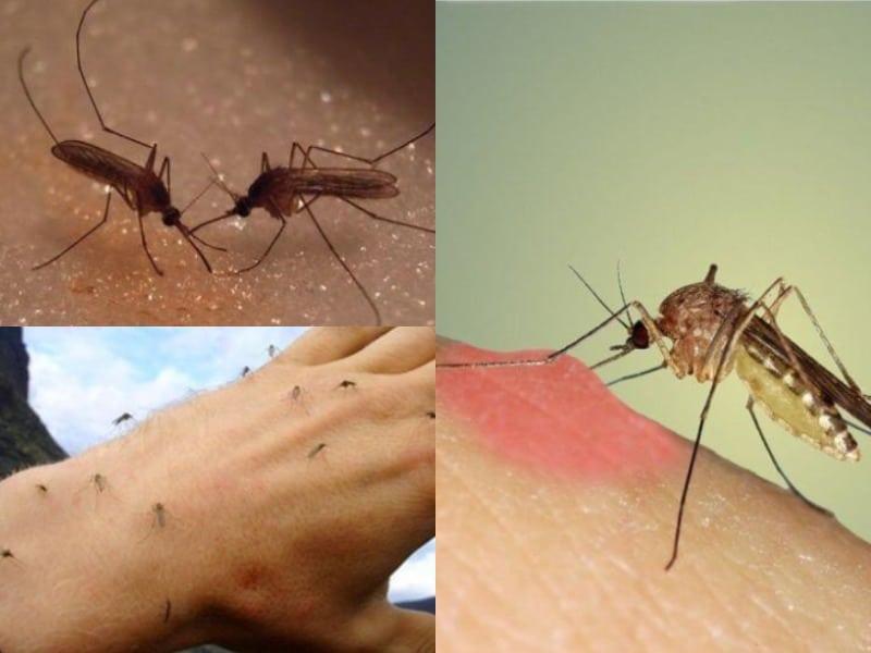 Почему комары кусают и почему их укусы чешутся?