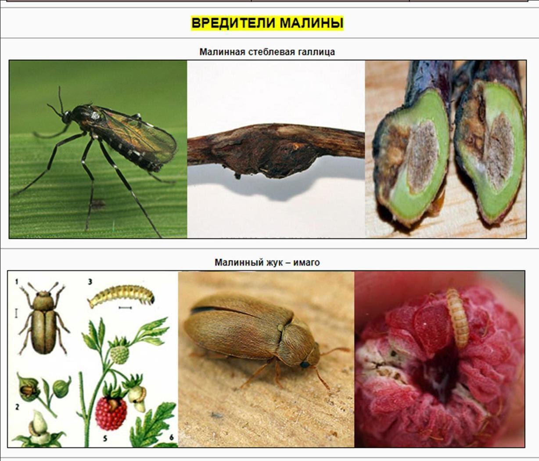Болезни и вредители малины: описание и способы борьбы