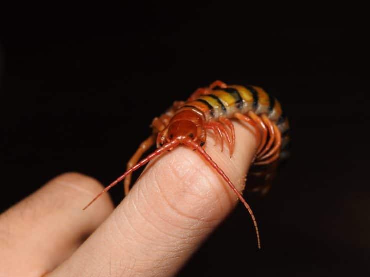 Сколопендра кольчатая | мир животных и растений