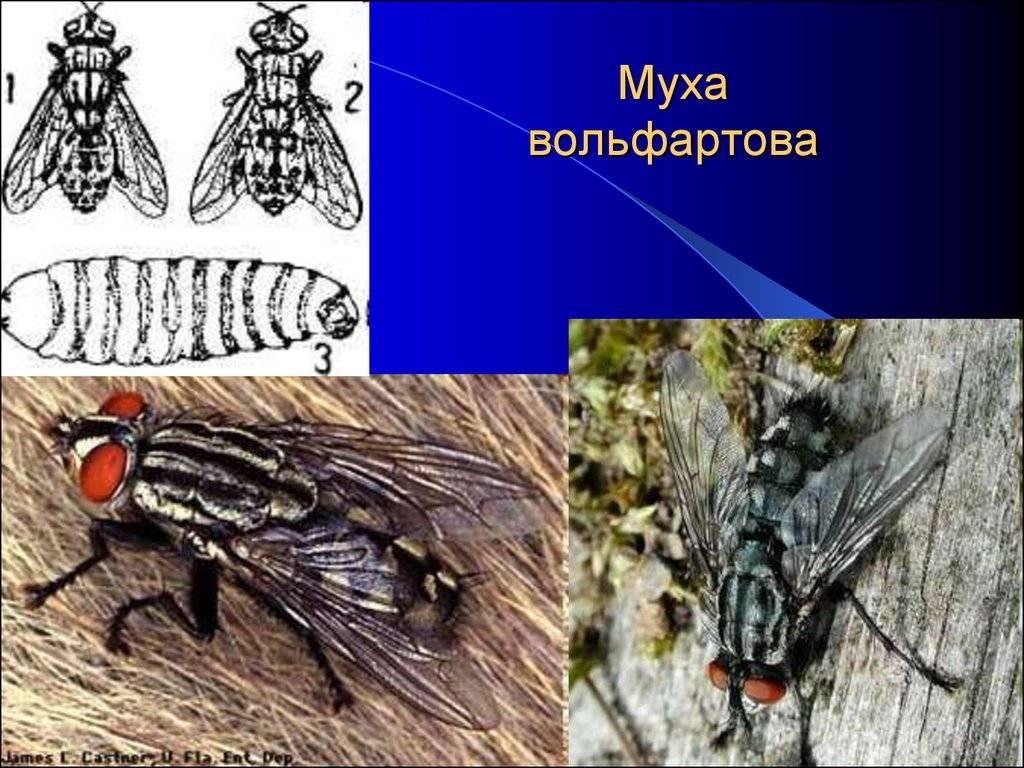 Миазы. болезни вызываемые мухами и оводами