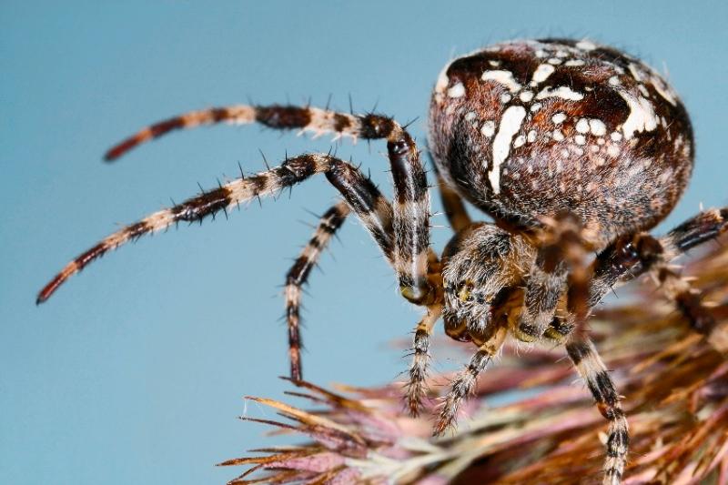 Большой паук крестовик
