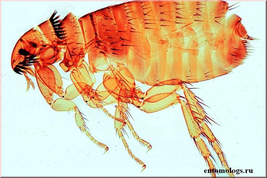 Блохи: строение, виды, особенности питания и размножения, способы борьбы с ними