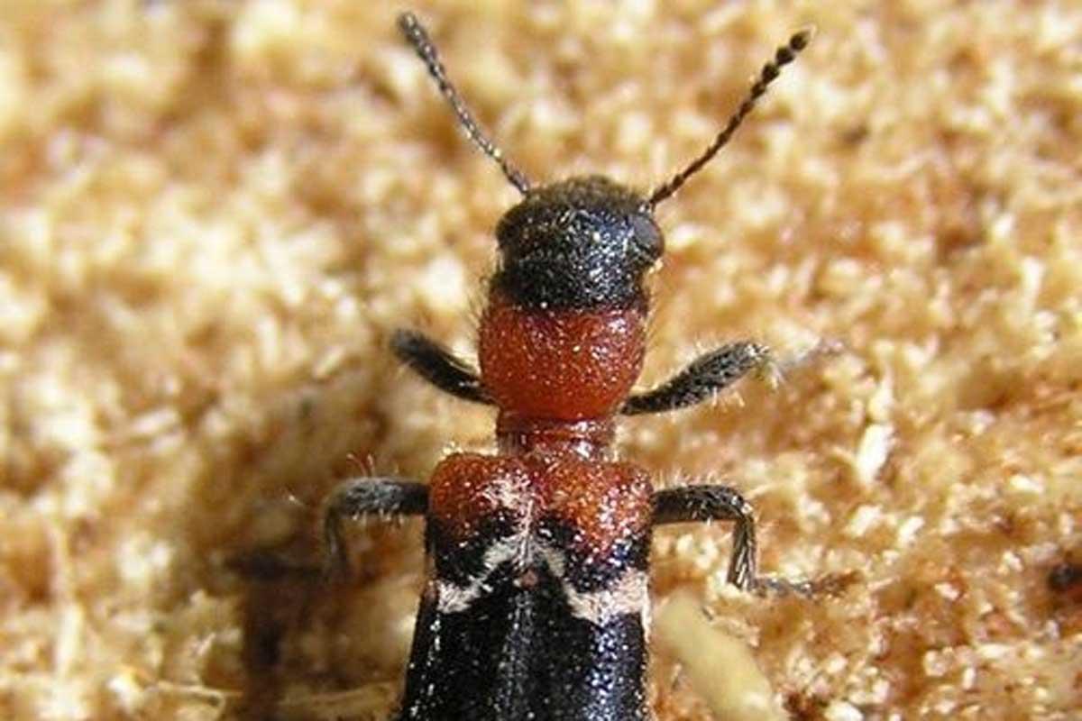 Рыжий лесной муравей: пользя и вред, размножение, опасность для человека