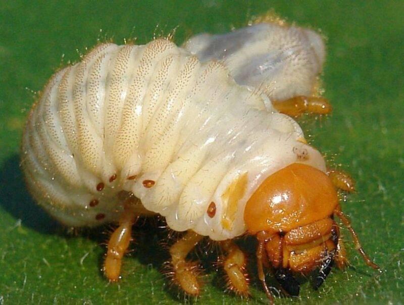 Борьба с личинками майского жука на клубнике: эффективные методы